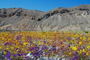 desert_flowers_-_death_valley_2008_op_800x535